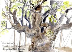 Major oak,Sherwood Forest