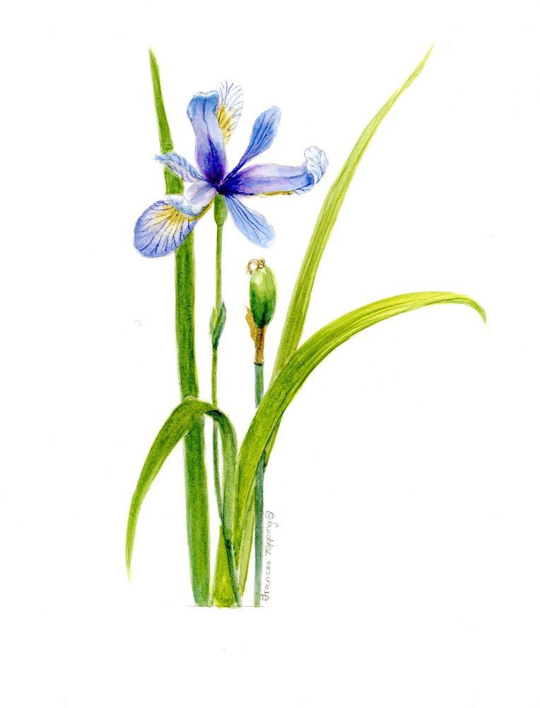 Iris versicolor/ Blue flag iris