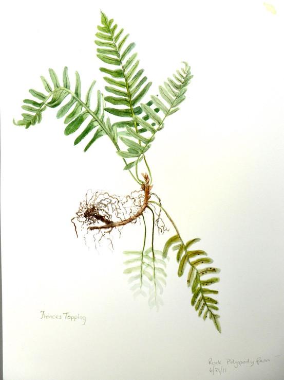 Polypody fern