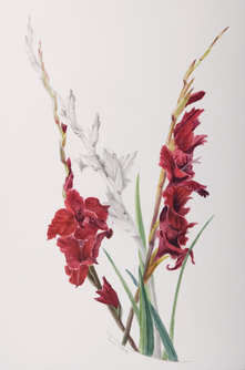Gladioli 1000px DSC0105.tif