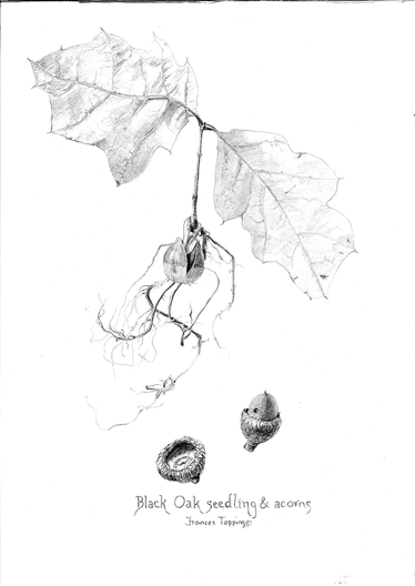 black oak seedling & acorns