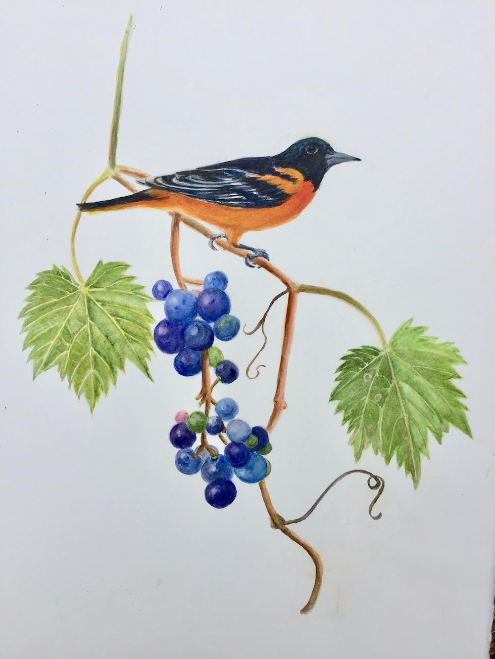 Baltimore Oriole and Grapes