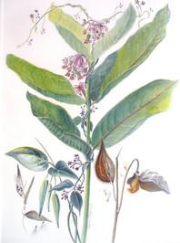 Millkweed and black swallowwort
