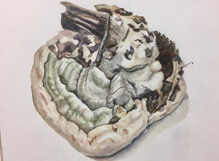 Bracket fungus (Ganoderma sp.