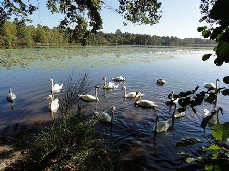 Cygnes à l'étang des Levrys 1km du camping