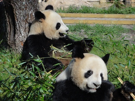 Pandas Zoo de Beauval
