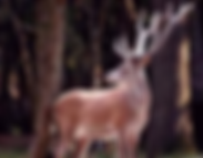 un cerf regardant vers la gauche