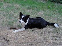 Portrait de la chienne couchée dans l'herbe