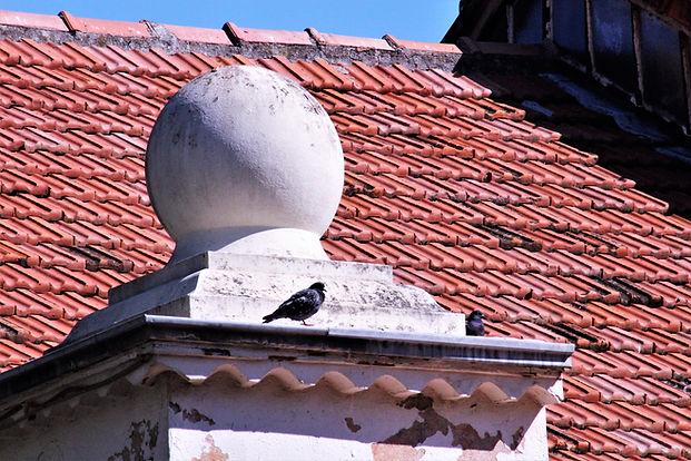 Pigeon à BRIGNOLES