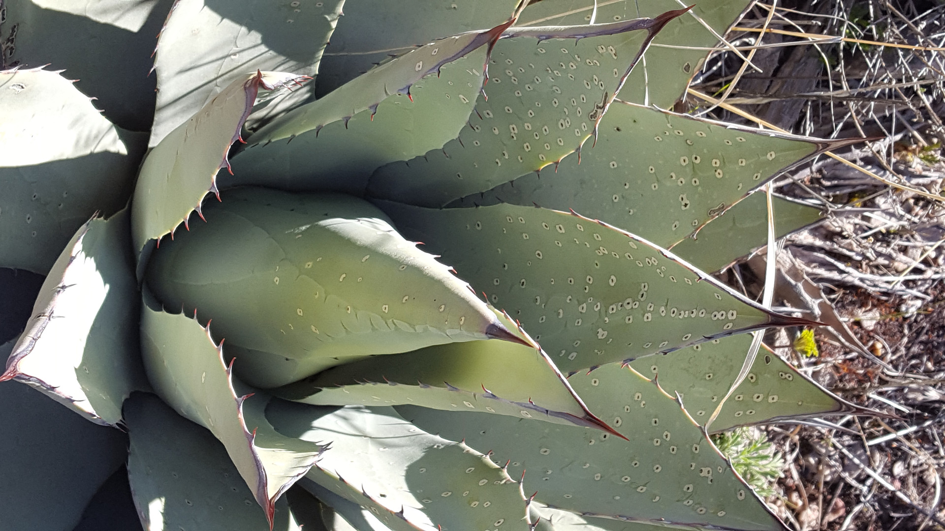 Agave Cactus textures