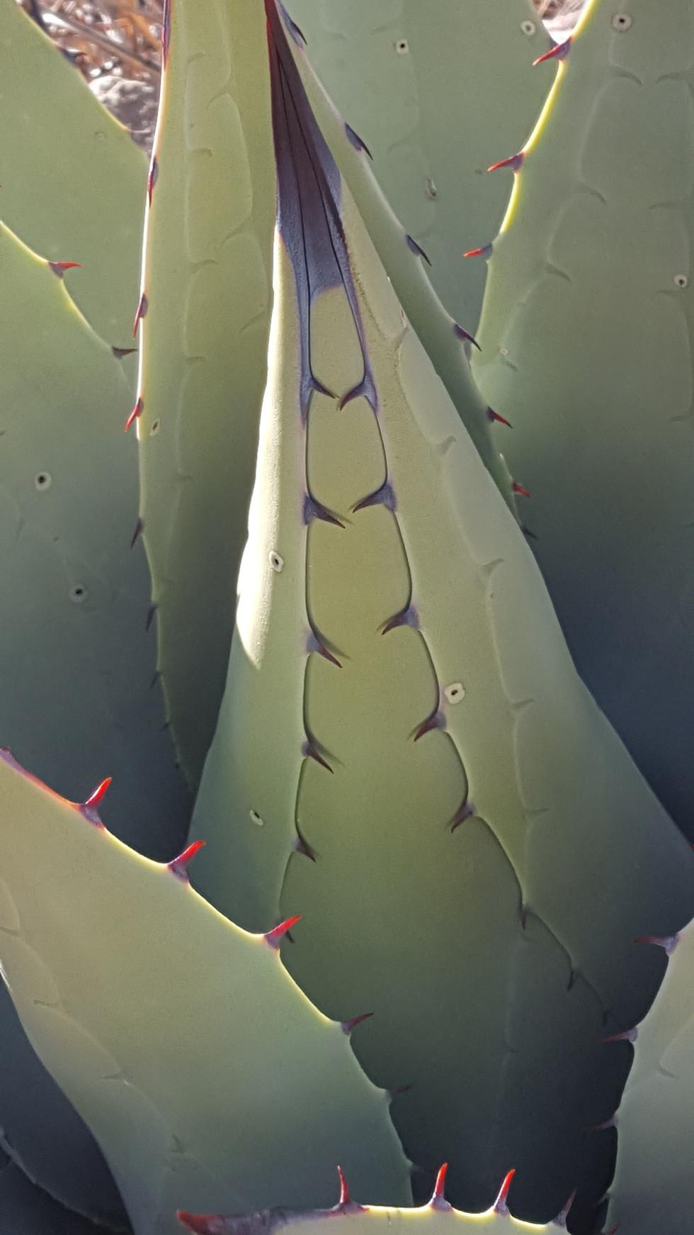 Agave Cactus closeup