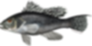 black_sea_bass_0.png