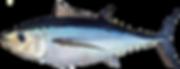 atlantic_albacore_tuna_0.png