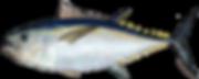 atlantic_bigeye_tuna_0.png
