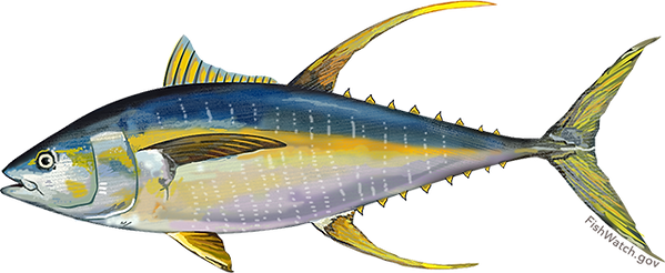 atlantic_yellowfin_tuna_0.png