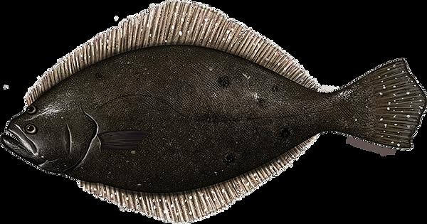 summer_flounder.png