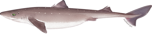 atlantic_spiny_dogfish_sharkfw.png