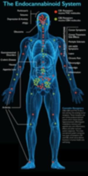 body-receptors.png