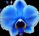 orchidée_bleue_2_copie.png