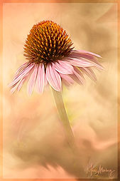Pastel Coneflower.jpg
