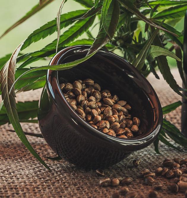 green hemp leaves falling on a bucket full of hemp seeds