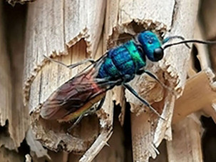 GWCT Species of the Month: Ruby Tailed Wasp