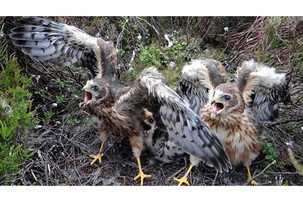 Another encouraging year for breeding Hen Harriers