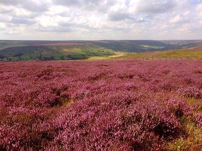 A beautiful heather moorland landscape