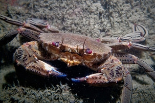 GWCT Species of the Month: Velvet Swimming Crab