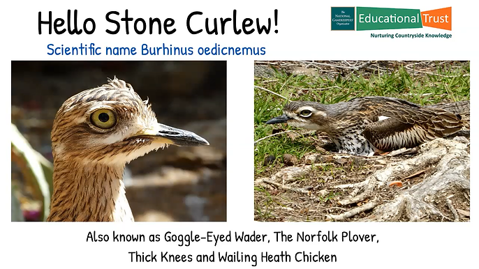 Conservation Fact File 6 - Goggle-Eyed Wader