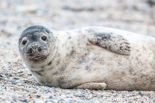 GWCT Species of the Month: Grey Seal