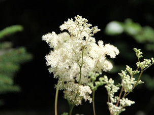 GWCT Species of the Month: Meadowsweet