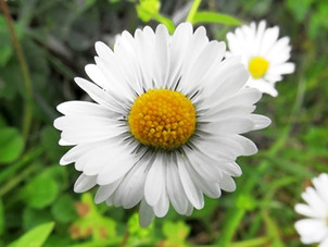 GWCT Species of the Month: Common Daisy