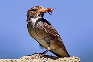 GWCT Species of the Month - Spotted Flycatcher