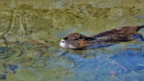What effect do beaver dams have on brown trout?