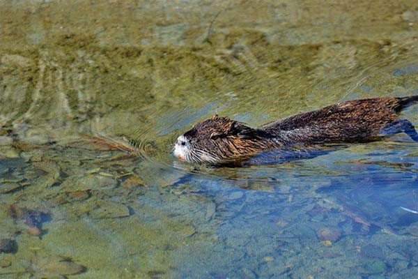 Beaver swimming in a river