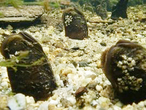 GWCT Species of the Month: Freshwater Pearl Mussels
