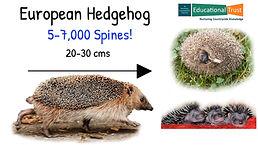 Conservation Fact File 8 - European Hedgehog