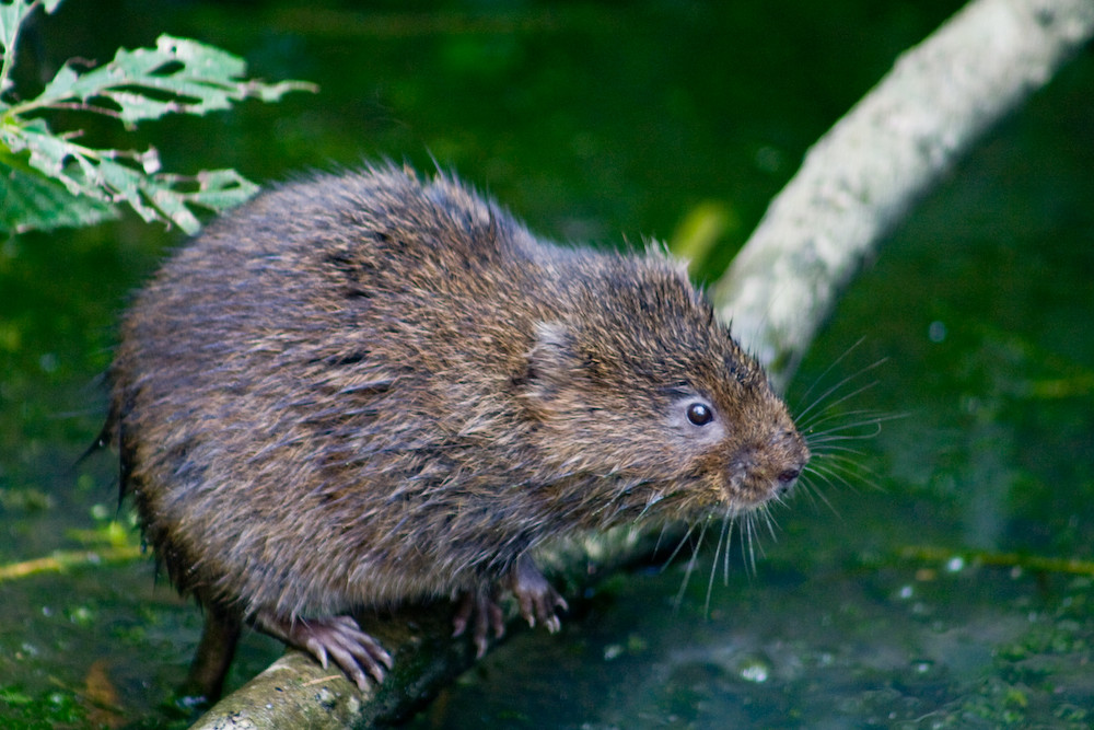 Water Vole perched on a branch over a stream