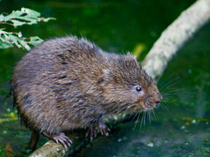 Ratty's return to the Monnow