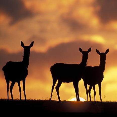 deer-sunset-v2-1400x1400.jpg