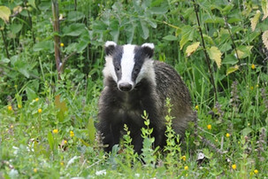 Badger predation – it's not all black and white