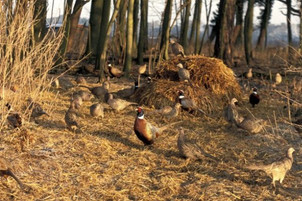 GWCT's Principles of Good Gamebird Management in the UK