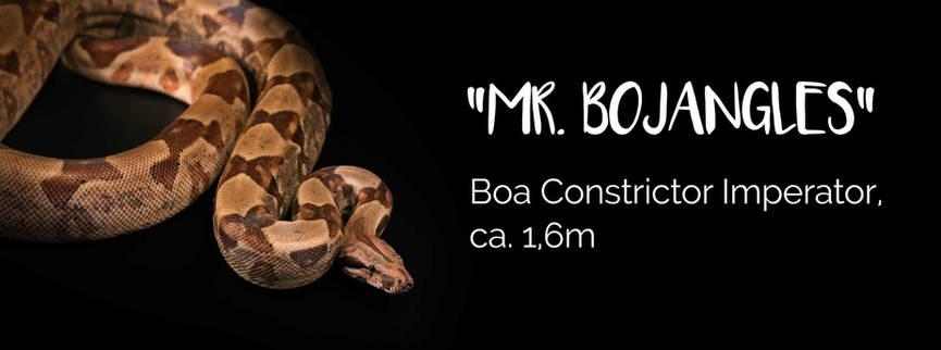 Mr. Bojangles - Boa Constrictor Imperator