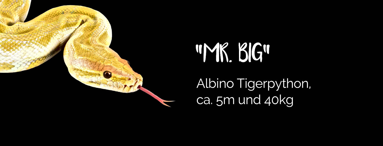 Mr. Big - Albino Tigerpython