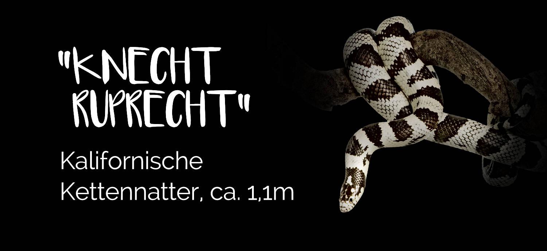 Knecht Ruprecht - Kalifornische Kettennattern