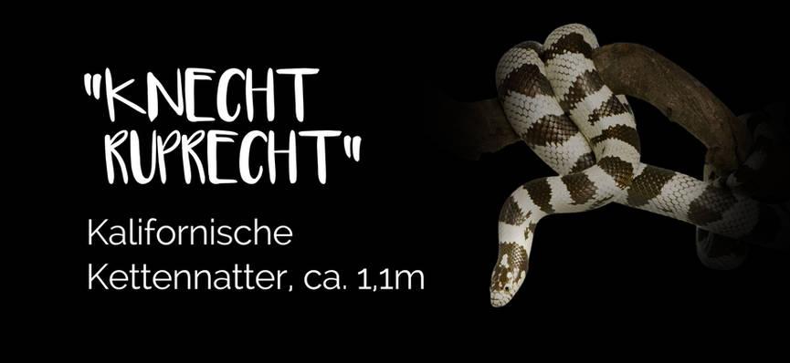 Knecht Ruprecht - Kalifornische Kettennatter
