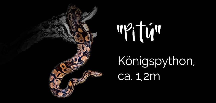 Pitu - Königspython