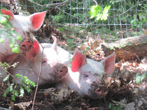 New Pigs 031.JPG