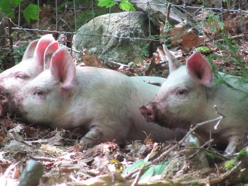 New Pigs 014.JPG